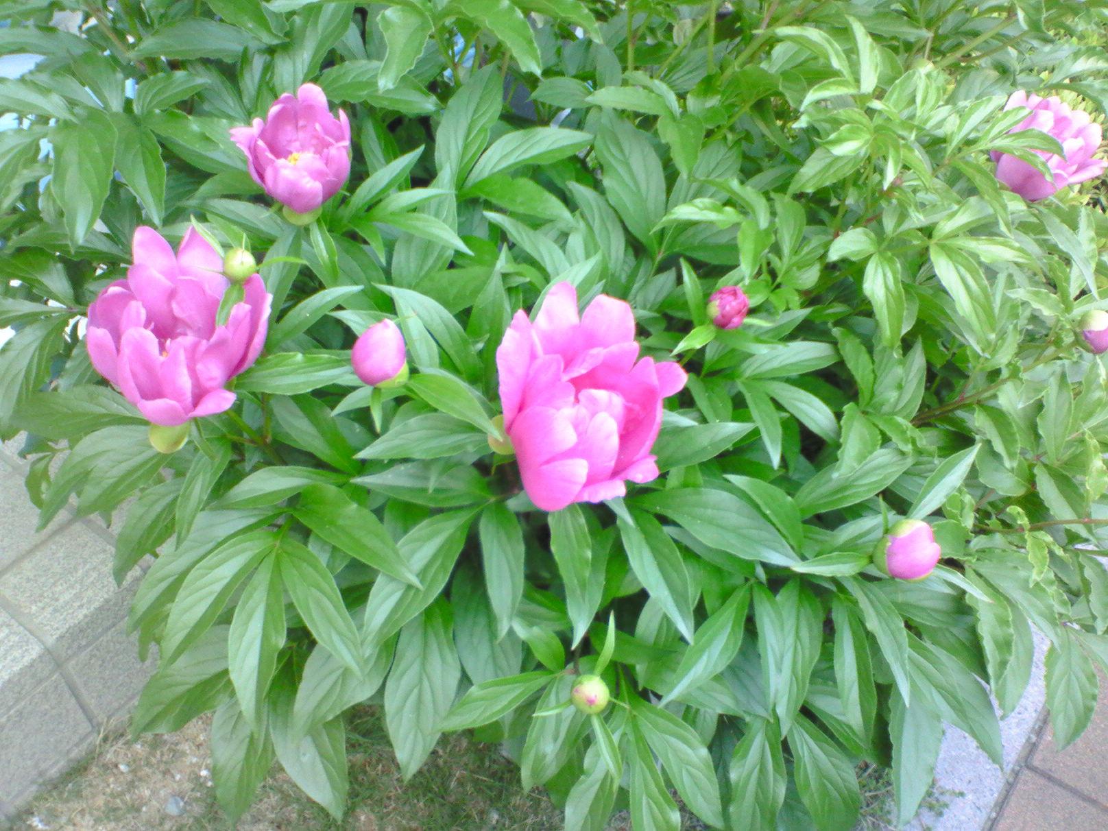 芍薬が咲いた